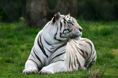 белизна тигра занятности стоковое фото