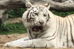 белизна тигра реветь Стоковые Фотографии RF