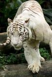 белизна тигра Стоковое фото RF