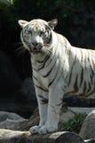белизна тигра Стоковые Фото