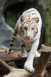 белизна тигра Стоковая Фотография RF