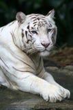 белизна тигра Стоковая Фотография