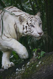 белизна тигра Стоковое Изображение