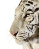 белизна тигра Стоковые Изображения RF