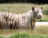 белизна тигра Стоковые Изображения
