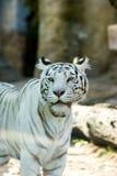 белизна тигра Стоковое Изображение RF