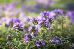 белизна тимиана иллюстрации предпосылки цветя Стоковые Изображения RF