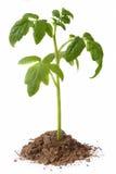 белизна томата сеянца предпосылки Стоковое Изображение