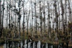 белизна топи egret кипариса Стоковые Фотографии RF