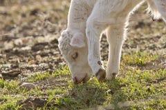 белизна травы еды коровы икры младенца Стоковое Фото