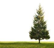 белизна травы ели одиночная Стоковая Фотография RF