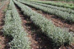 белизна травы мудрая Стоковые Фото