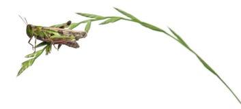 белизна травы фронта сверчка предпосылки стоковые фото