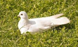 белизна травы dove сидя стоковая фотография rf