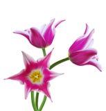 белизна тюльпана предпосылки Стоковое Изображение