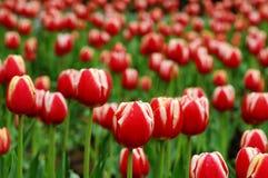 белизна тюльпана 2 красных цветов Стоковые Изображения