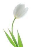 белизна тюльпана Стоковое Изображение RF