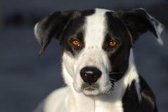 белизна указателя черной собаки Стоковая Фотография RF