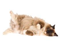 белизна уплотнения изолированного пункта кота стоковое фото