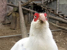 белизна фазана Стоковые Фотографии RF