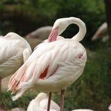 белизна фламингоа Стоковые Фото