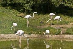 белизна фламингоа Стоковое Изображение RF