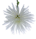 белизна хризантемы Стоковое фото RF
