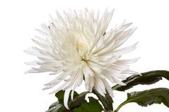 белизна хризантемы Стоковые Изображения RF