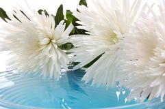 белизна хризантемы Стоковая Фотография