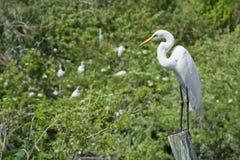 белизна цапли птицы большая Стоковое Изображение RF