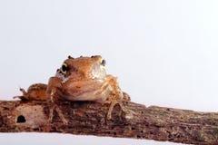 белизна цвета крупного плана изолированная лягушкой Стоковые Изображения RF
