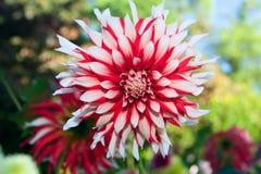 белизна цветка георгина красная Стоковая Фотография RF