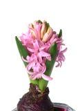 белизна цветка изолированная гиацинтом розовая Стоковое Изображение RF