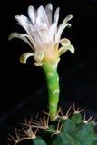 белизна цветка кактуса Стоковая Фотография