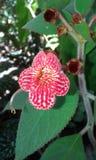 белизна цветка красная Стоковое Изображение