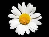белизна цветка маргаритки Стоковые Изображения RF