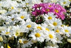 белизна цветка маргаритки Стоковое Фото