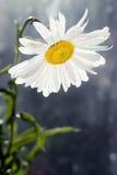белизна цветка маргаритки Стоковое Изображение
