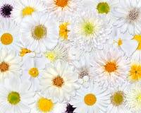 белизна цветка предпосылки Стоковое фото RF