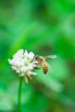 белизна цветка пчелы Стоковые Изображения