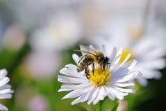белизна цветка пчелы Стоковое Изображение RF
