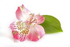 белизна цветка розовая Стоковое Изображение RF