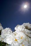 белизна цветка солнечная стоковая фотография rf