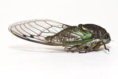 белизна цикады изолированная крупным планом стоковые изображения