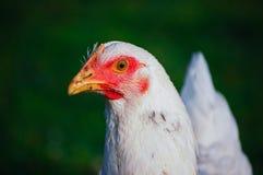 белизна цыпленка близкая поднимающая вверх Стоковое Изображение RF