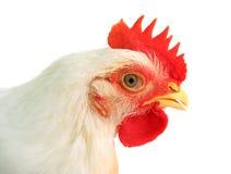 белизна цыпленка стоковое фото rf