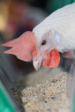 белизна цыпленка Стоковые Фото
