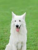 белизна чабана собаки швейцарская Стоковая Фотография RF