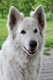 белизна чабана собаки Стоковое фото RF