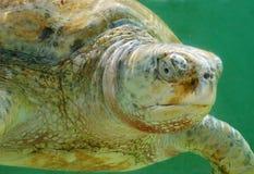 белизна черепахи моря альбиноса Стоковые Изображения RF